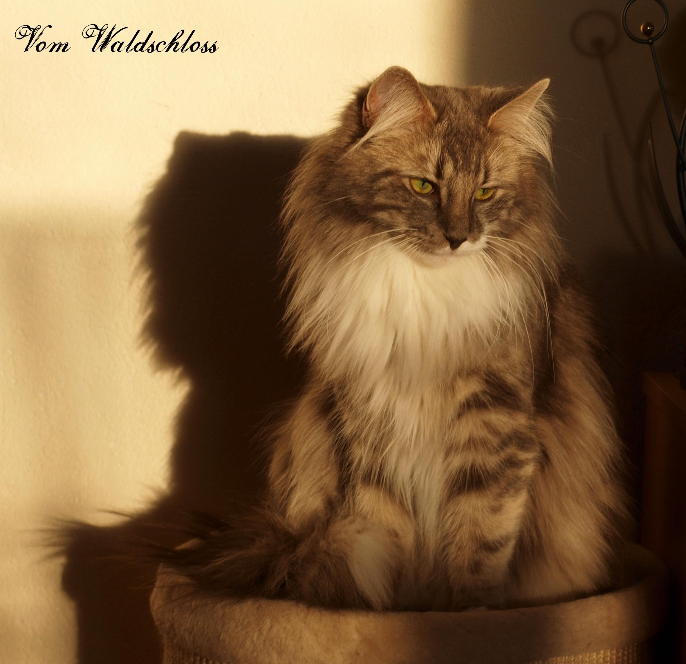 Die Norwegische Waldkatze Norwegische Waldkatzen Vom Waldschloss